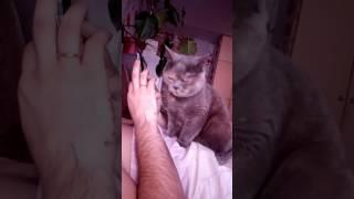Британская кошка просит ласки