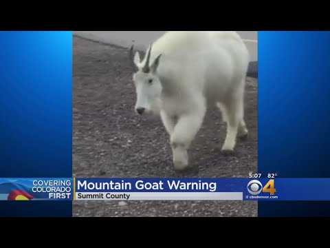 Mountain Goat Warning For Cyclists On Trails