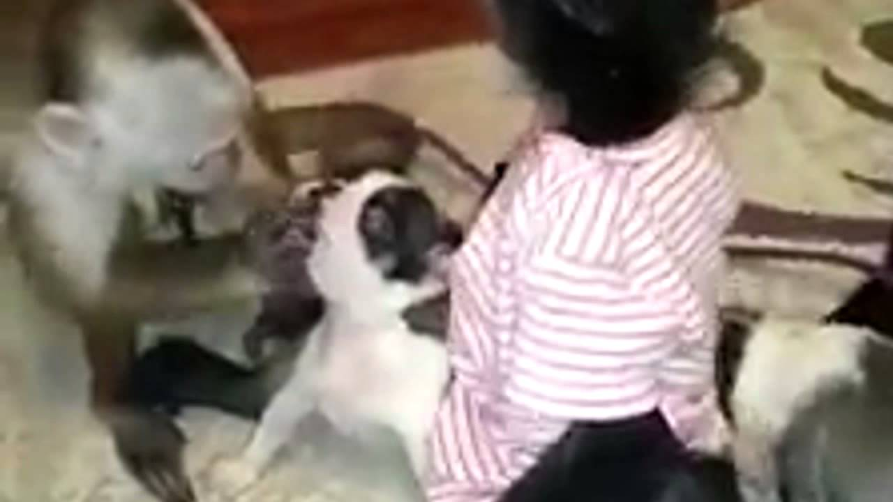 Monkeys Kiss And Play With Dogs Youtube