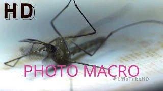 Close up Photo Macro - Mosquito (Ochlerotatus) - Nyamuk