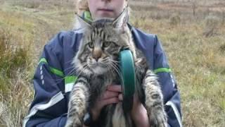 Мейн кун Дамур. Хмурый кот. Maine coon Damur. Gloomy cat