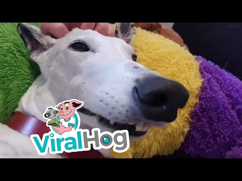 Happy Hound Can't Contain Her Excitement || ViralHog