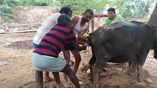 Live delivery of Buffalo in India - Buffalo Live Delivery to Her Baby