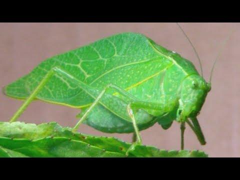 The Katydid (Leaf Bug)
