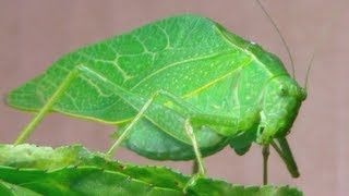 The Katydid (Leaf Bug)