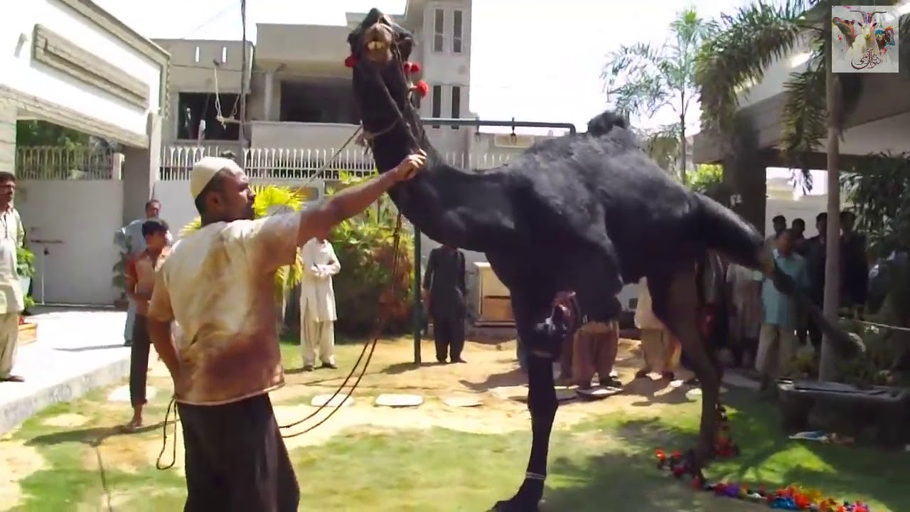 Download THE PERFECT WAY TO SLAUGHTER A CAMEL - BLACK CAMEL QURBANI 2018