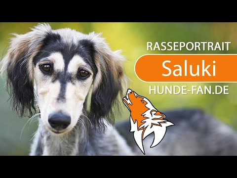 Saluki [2019] Breed, Appearance & Character