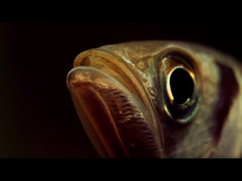 Archer Fish Water Pistol - Weird Nature - BBC