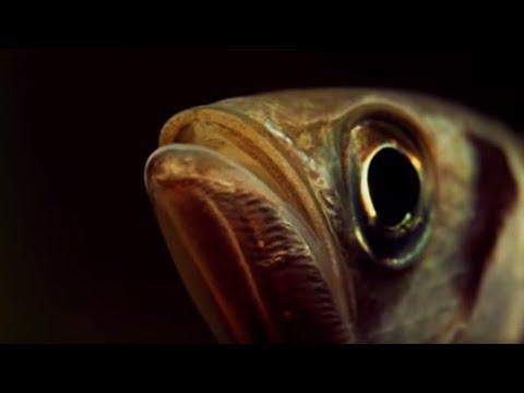 Archer Fish Water Pistol | Weird Nature | BBC