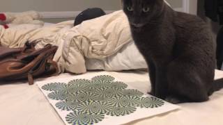Cat mesmerized by optical illusion thumbnail