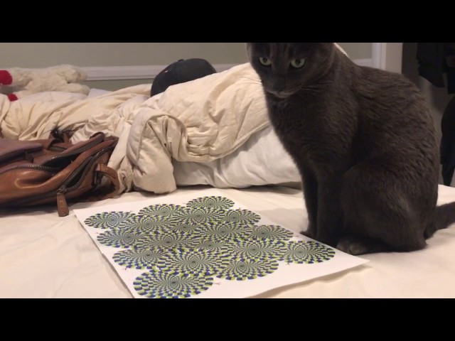 Cat mesmerized by optical illusion