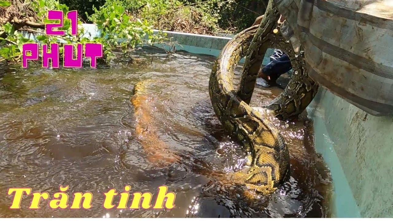 21 Phút Giằng Co Với Bầy Trăn Tinh Núp Trong Bọng Cống (Catch the jungle python)