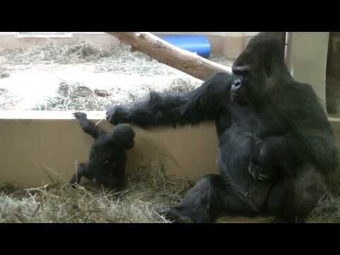 Baby Gorilla Jumps Down Trying To Impress Dad