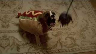 Bauer The Boxer Puppy Playing In His Hot Dog Halloween Costume
