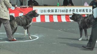 秋田犬ファンの皆さまお待たせいたしました。今回は秋田犬 黒犬 オス同...