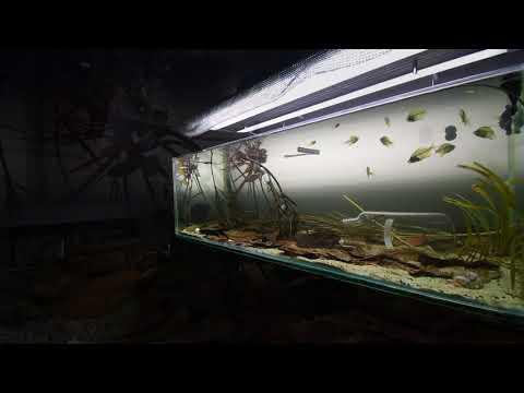 Indian Glassfish Biotope