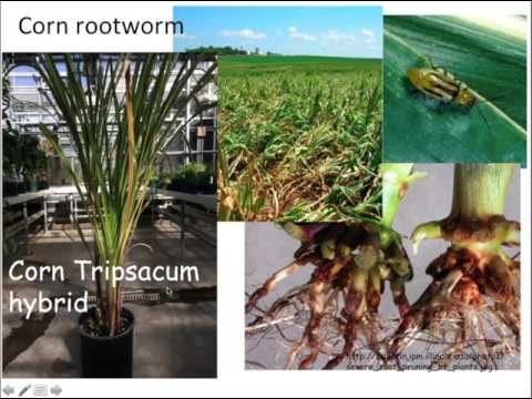 Vegetable Breeding Research Updates: Bill Tracy, University of Wisconsin Madison