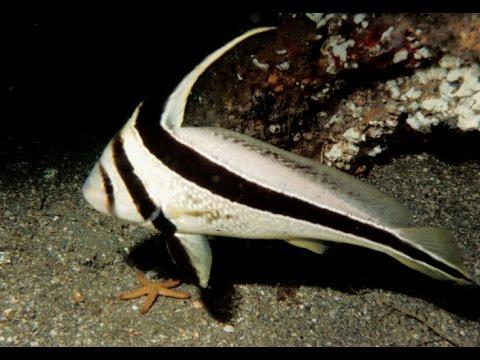 Jackknife Fish,