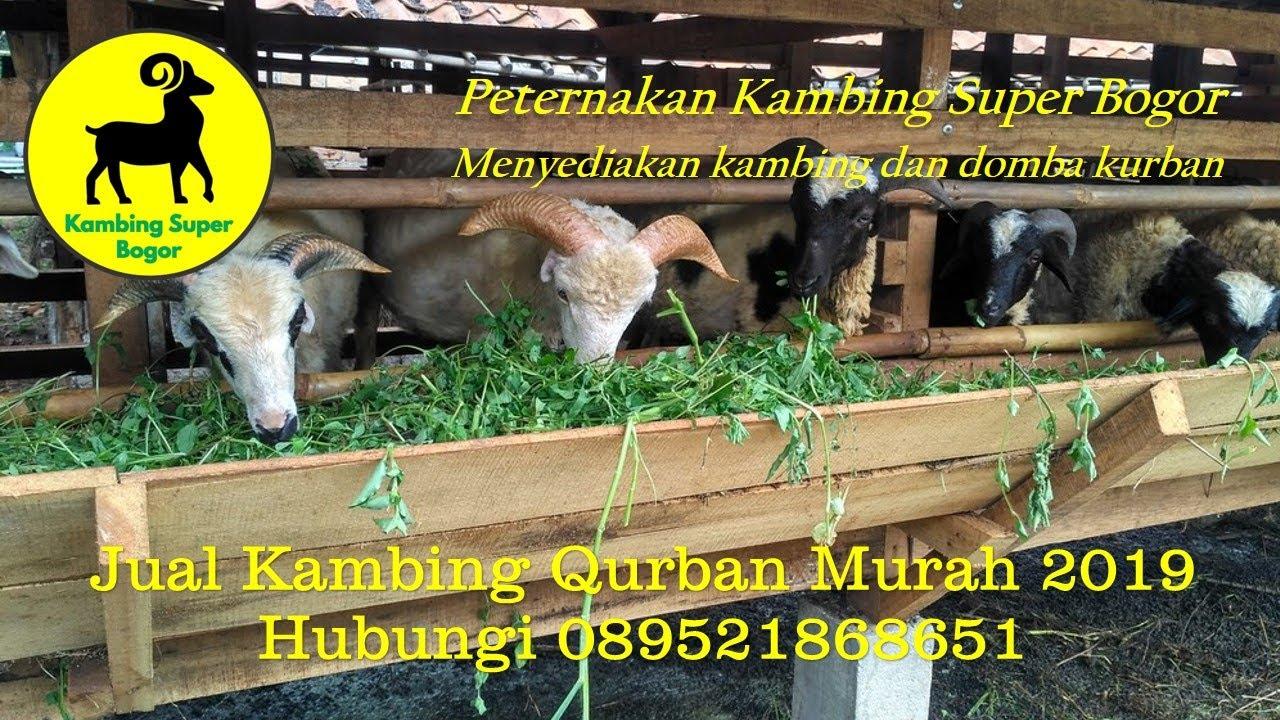 Jual Kambing Qurban Murah 2019 - YouTube