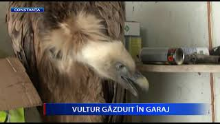 unde papiloamele din vultur sunt îndepărtate)