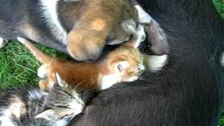 Dog breastfeeding puppy and kittens - Bulgaria