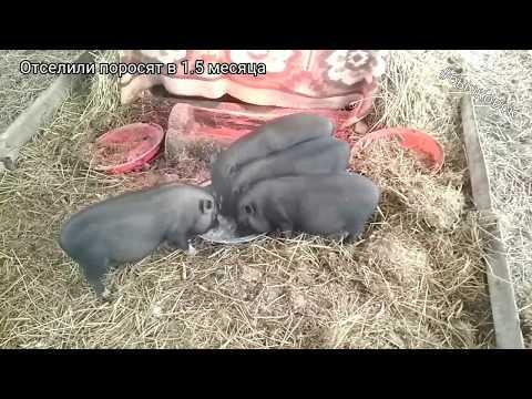 Рост поросят до забойного возраста. Какими вырастают вьетнамские свини.