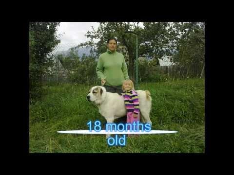 Central asian shepherd dog Hugo