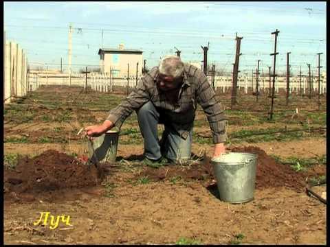 Уроки виноградарства (весенние работы).