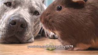 Guinea Pig LOVES DOG Pit Bull Sharky. www.HelensPets.com