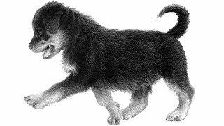 Как нарисовать щенка ротвейлера карандашом
