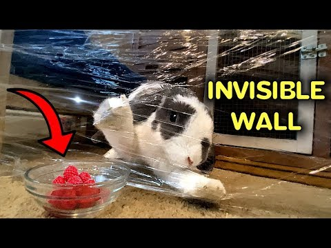 Rabbit reacts to Plastic Wrap | Invisible Wall Challenge