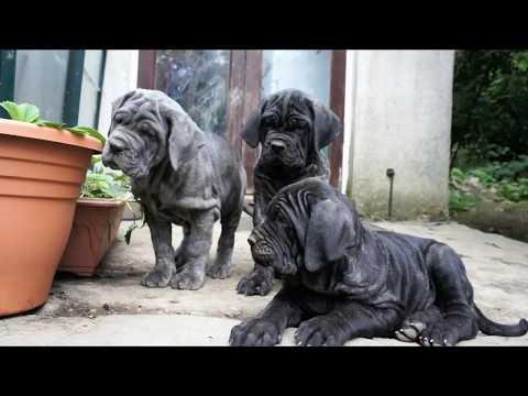 Neapolitan Mastiff Puppies Close up Playtime