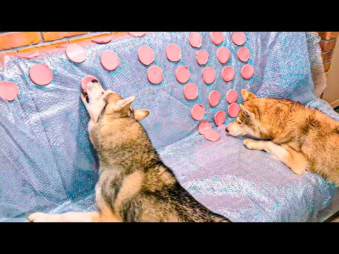 РЕАКЦИЯ ХАСКИ НА ДИВАН ИЗ КОЛБАСЫ !! (Хаски Бублик) Говорящая собака Mister Booble