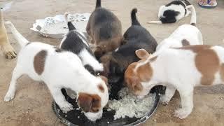 So beautiful Puppies eating food
