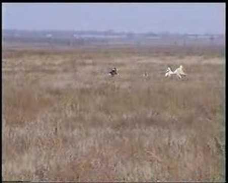 russian borzoi hunting 1 - YouTube