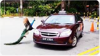 Peacock Attacks Chevy Car || Angry Birds in Real Life