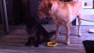 Funny Video   Maine Coon   Labrador Retriever   Dog And Cat   Having Fun