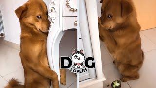 Guilty Dog Make You Laugh Compilation