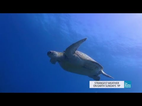 Strangest Weather on Earth: Saving Sea Turtles!