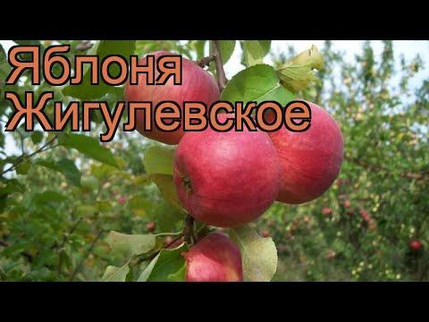 Яблоня средний Жигулевское (malus zhigulevskoe) 🌿 обзор: как сажать, саженцы яблони Жигулевское