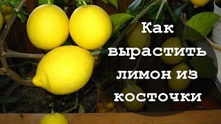 Как вырастить лимон из косточки