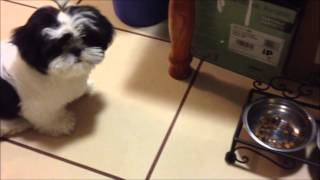Po The Shih Tzu Ep.9 - What I Feed My Puppy