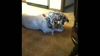 Dalmatian Sneak Attack!