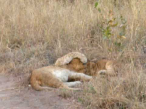 Baby Lions playing with Mom - Kruger National Park