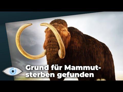 Mysteriöses Massensterben: So starben die Mammuts aus!