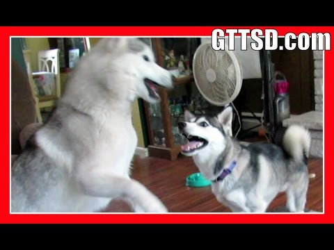 DO HUSKIES MESS UP A HOUSE   Fan Friday 207