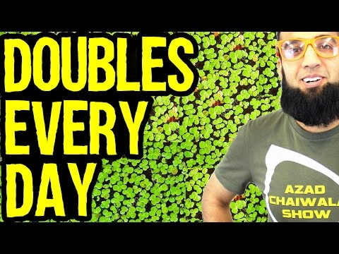 Duckweed Animal Feed Doubles Every Day | Azad Chaiwala Show