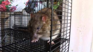 Дикий крыс Лешик