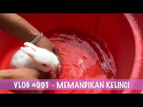 Vlog #1 - Memandikan Kelinci - Mini Netherland Dwarf Usia 2 Bulan