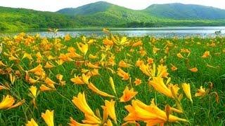 [HD]福島県・雄国沼のニッコウキスゲ Daylily in Fukushima 花の名所案内